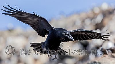 KA_150407_133 / Corvus corax / Ravn