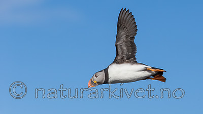 KA_150407_74 / Fratercula arctica / Lunde
