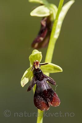 KA_150616_15 / Ophrys insectifera / Flueblom
