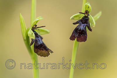 KA_150616_7 / Ophrys insectifera / Flueblom