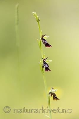 KA_150619_5 / Ophrys insectifera / Flueblom