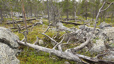KA_150708_56 / Pinus sylvestris / Furu