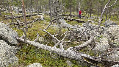 KA_150708_57 / Pinus sylvestris / Furu