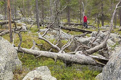 KA_150708_58 / Pinus sylvestris / Furu