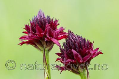 KA_150709_12 / Nigritella nigra / Svartkurle