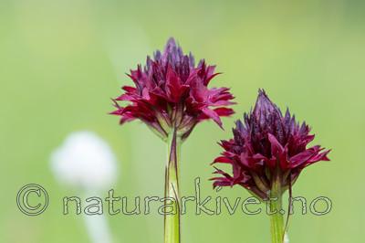 KA_150709_4 / Nigritella nigra / Svartkurle