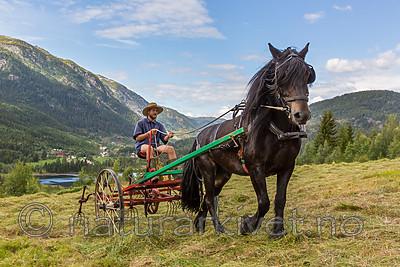 KA_150730_210 / Equus caballus / Hest