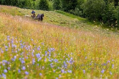KA_150730_302 / Equus caballus / Hest