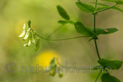 KA_150812_10 / Vicia pisiformis / Ertevikke