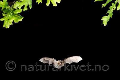 KA_150822_41 / Plecotus auritus / Brunlangøre