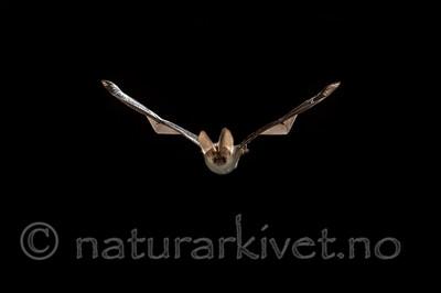 KA_150822_43 / Plecotus auritus / Brunlangøre