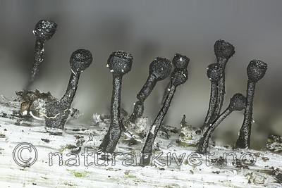KA_160219_denigratum / Calicium denigratum / Blanknål