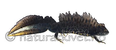 KA_160501_1 / Triturus cristatus / Storsalamander