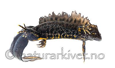 KA_160501_10 / Triturus cristatus / Storsalamander
