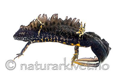KA_160501_32 / Triturus cristatus / Storsalamander
