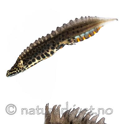 KA_160501_69 / Lissotriton vulgaris / Småsalamander
