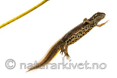 KA_160515_50 / Lissotriton vulgaris / Småsalamander