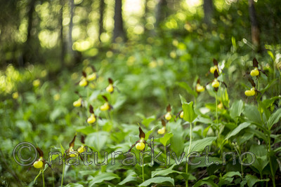 KA_160604_37 / Cypripedium calceolus / Marisko