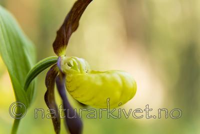 KA_160604_54 / Cypripedium calceolus / Marisko