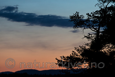 KA_160605_2 / Caprimulgus europaeus / Nattravn