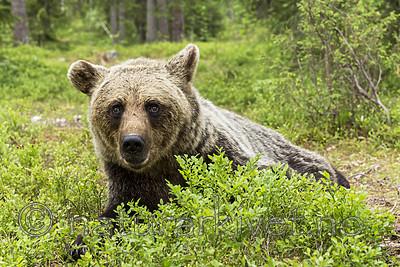 KA_160624_239 / Ursus arctos / Brunbjørn