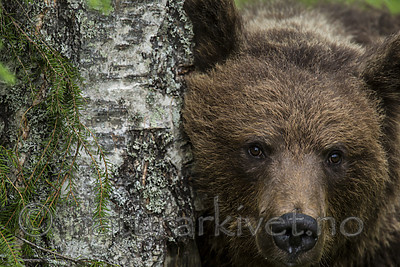KA_160624_279 / Ursus arctos / Brunbjørn