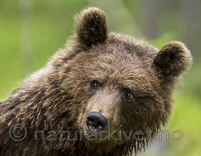 KA_160624_286 / Ursus arctos / Brunbjørn