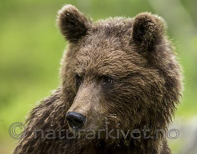 KA_160624_287 / Ursus arctos / Brunbjørn