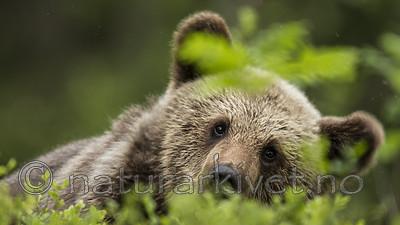 KA_160624_299 / Ursus arctos / Brunbjørn