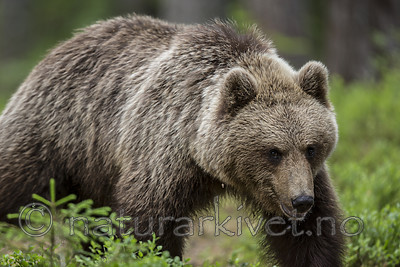 KA_160624_358 / Ursus arctos / Brunbjørn