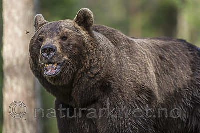 KA_160624_369 / Ursus arctos / Brunbjørn