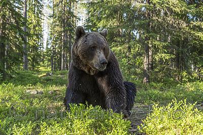KA_160624_397 / Ursus arctos / Brunbjørn