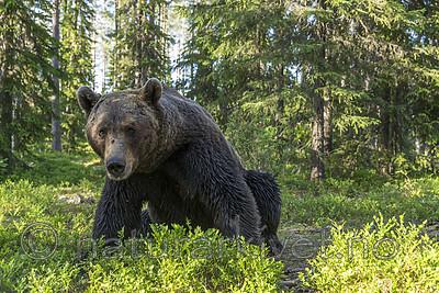 KA_160624_398 / Ursus arctos / Brunbjørn