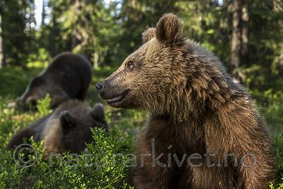 KA_160624_410 / Ursus arctos / Brunbjørn