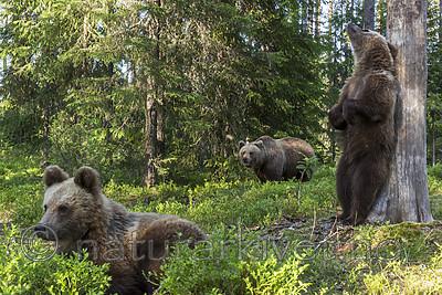 KA_160624_443 / Ursus arctos / Brunbjørn