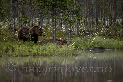 KA_160624_92 / Ursus arctos / Brunbjørn