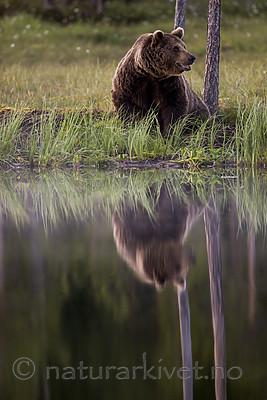 KA_160625_113 / Ursus arctos / Brunbjørn