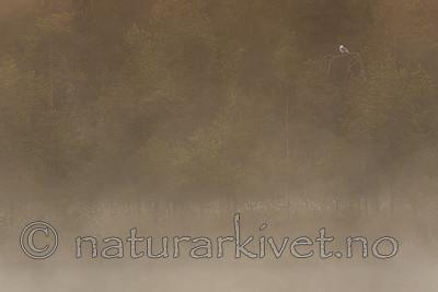 KA_160625_152 / Larus canus / Fiskemåke