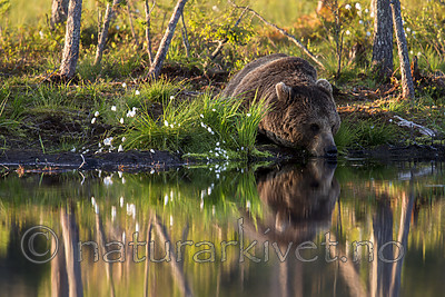 KA_160625_33 / Ursus arctos / Brunbjørn