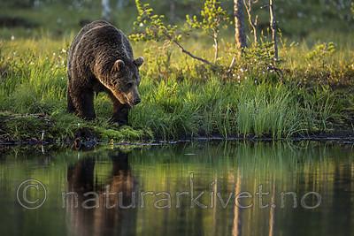 KA_160625_74 / Ursus arctos / Brunbjørn