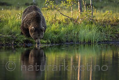 KA_160625_80 / Ursus arctos / Brunbjørn