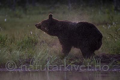 KA_160626_111 / Ursus arctos / Brunbjørn