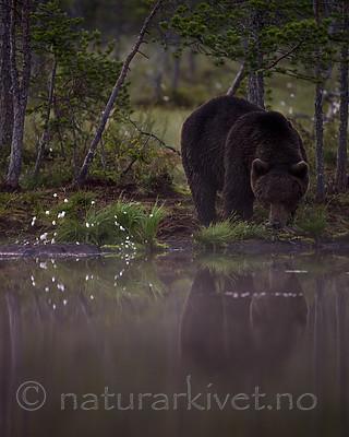 KA_160626_147 / Ursus arctos / Brunbjørn