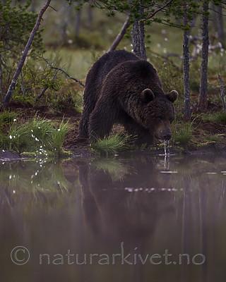 KA_160626_149 / Ursus arctos / Brunbjørn