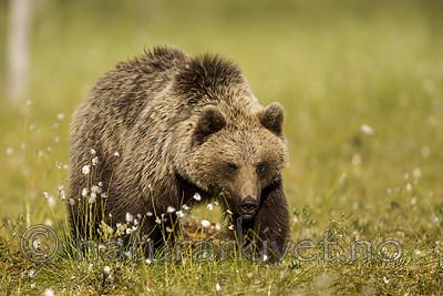 KA_160626_260 / Ursus arctos / Brunbjørn