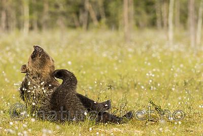 KA_160626_308 / Ursus arctos / Brunbjørn
