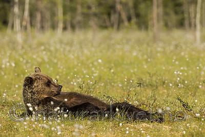 KA_160626_311 / Ursus arctos / Brunbjørn