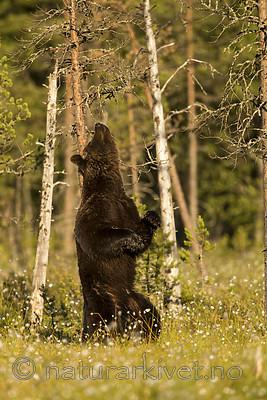 KA_160626_413 / Ursus arctos / Brunbjørn