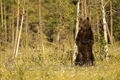 KA_160626_420 / Ursus arctos / Brunbjørn