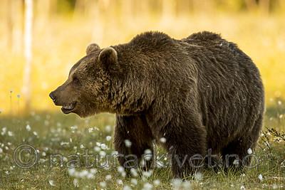KA_160626_543 / Ursus arctos / Brunbjørn